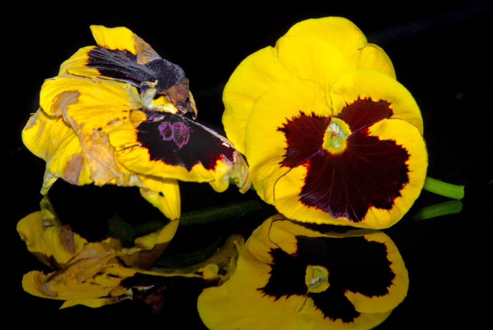Theme: Something Old And Something New <br>Title: Old And New Pansies