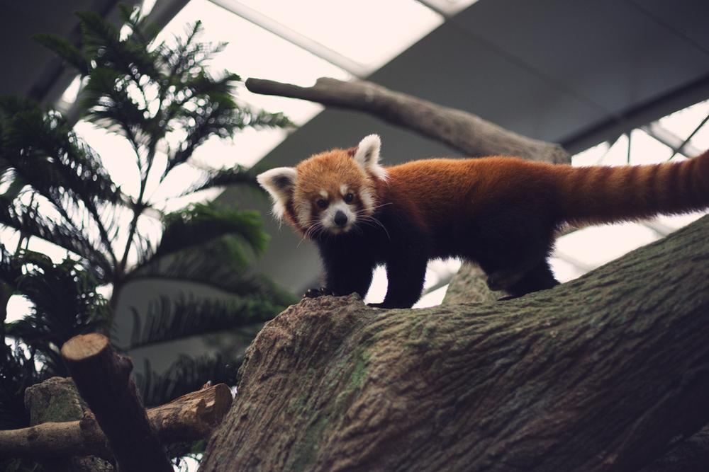 Red panda ( Ailurus fulgens )