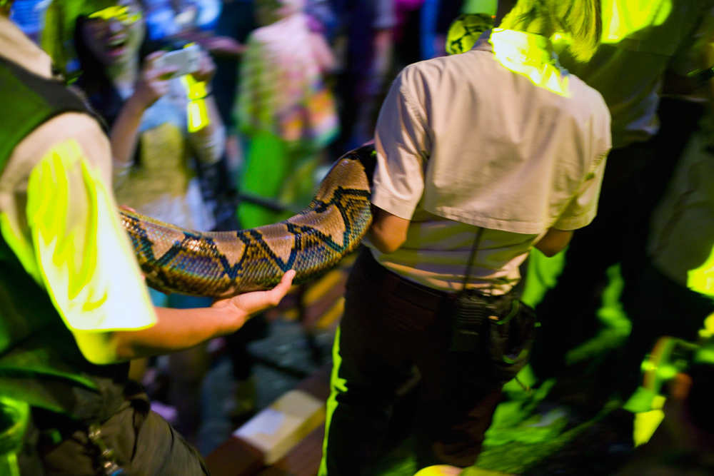Reticulated python ( Python reticulus )