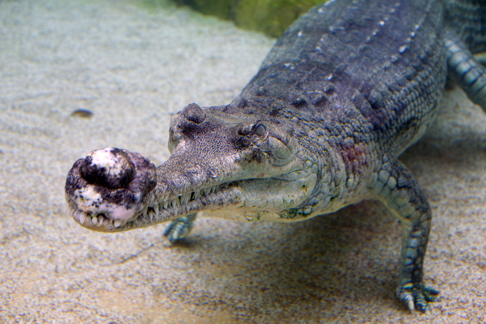 "Gharial ( Gavialis gangeticus ) ""The Croc from Mars."""