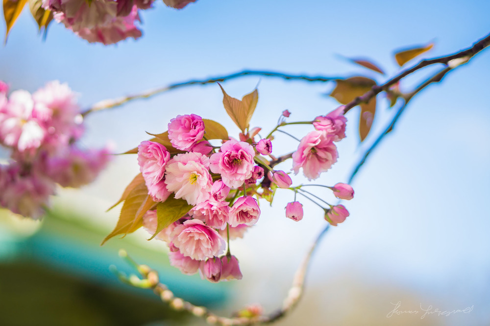 Cherry Blossom Flowers on a branchApril 14, 2014.jpg