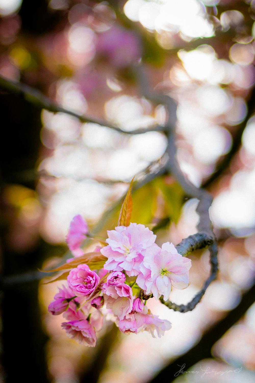 Cherry blossoms in SunlightApril 14, 2014.jpg
