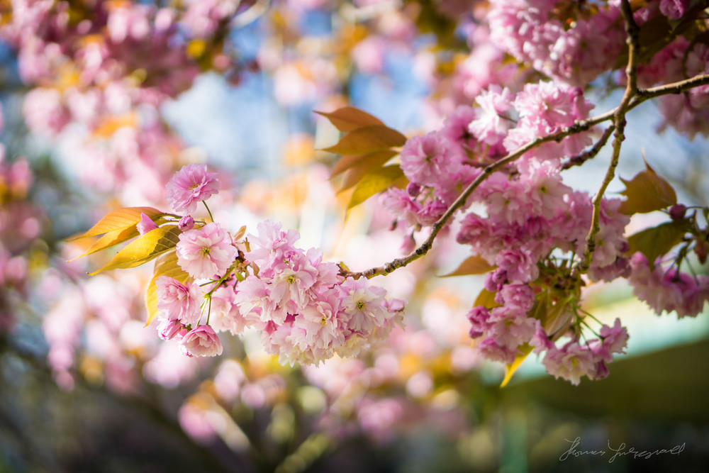 Close up of Cherry Blossom Flowers on a Cherry TreeApril 14, 2014.jpg