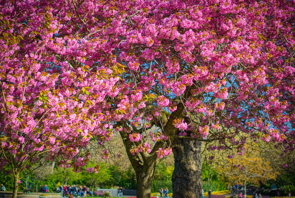 Pink and Purple Cherry BlossomsApril 14, 2014.jpg