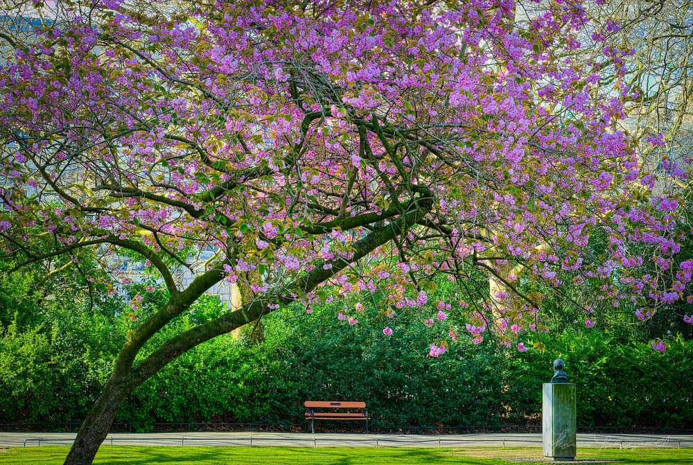 Beautiful Cherry Tree in Full Bloom over a bench in Stephen's GreemApril 14, 2014.jpg