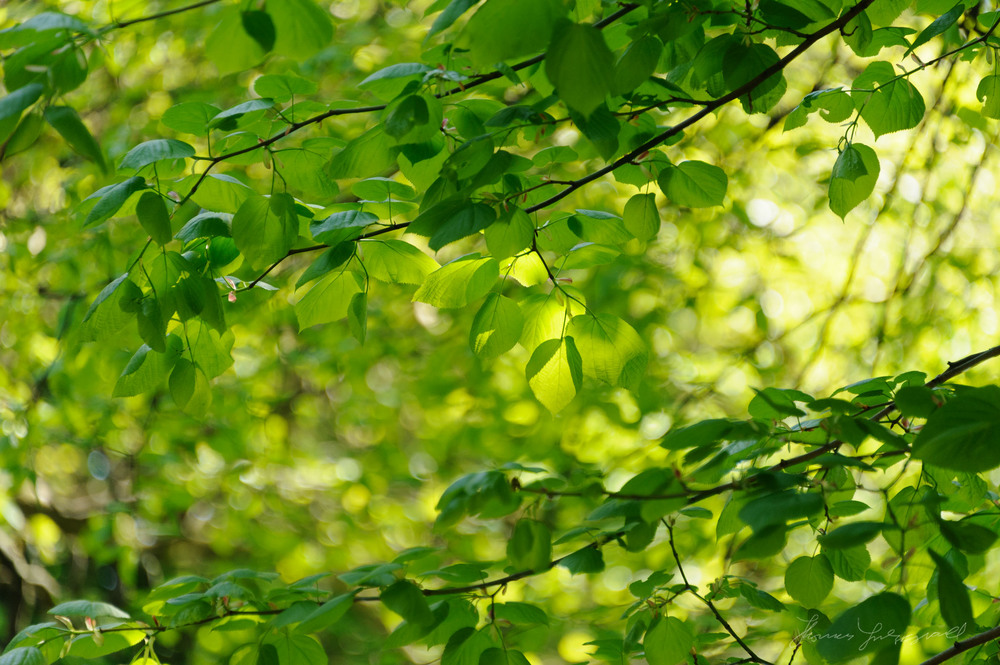 Dappled light on Leaves