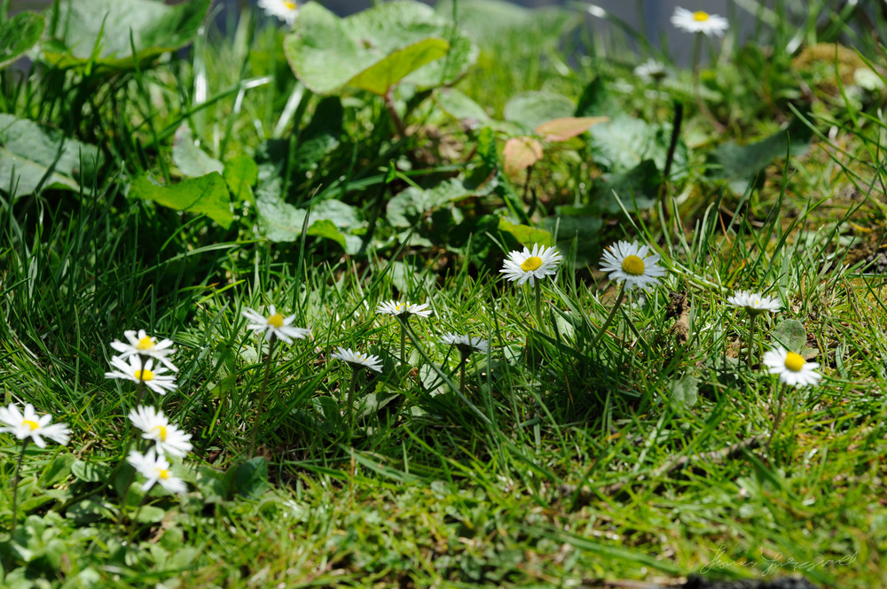 Dasies on the Grass by the Canal