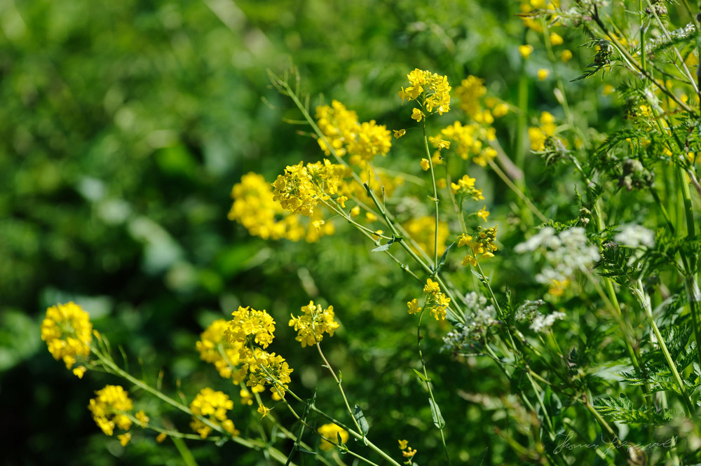 Yellow flowers and grreen shrubs