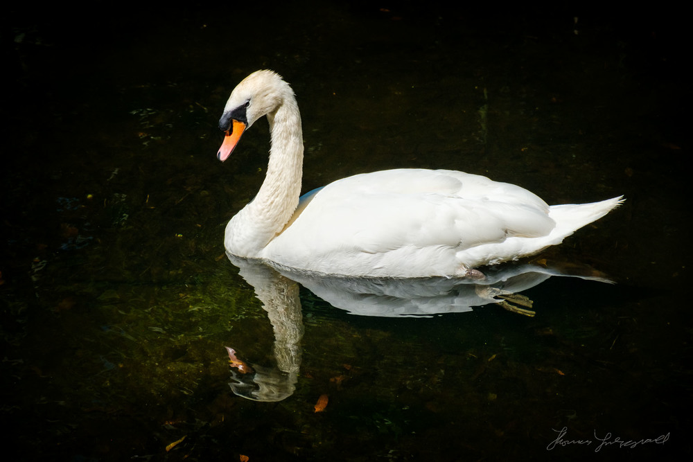Swan swimming in a Pond - Fuji X-Pro 2