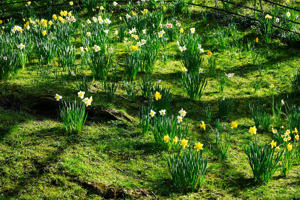 A patch of grass has lots of growing daffodils on a sunny day