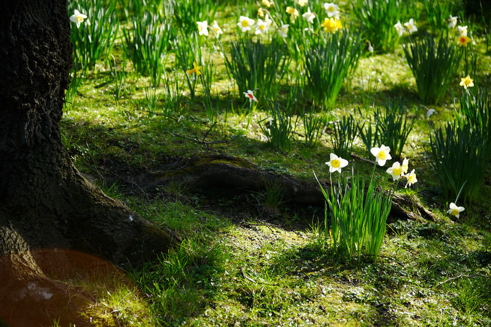 Daffodils at the root of a Tree