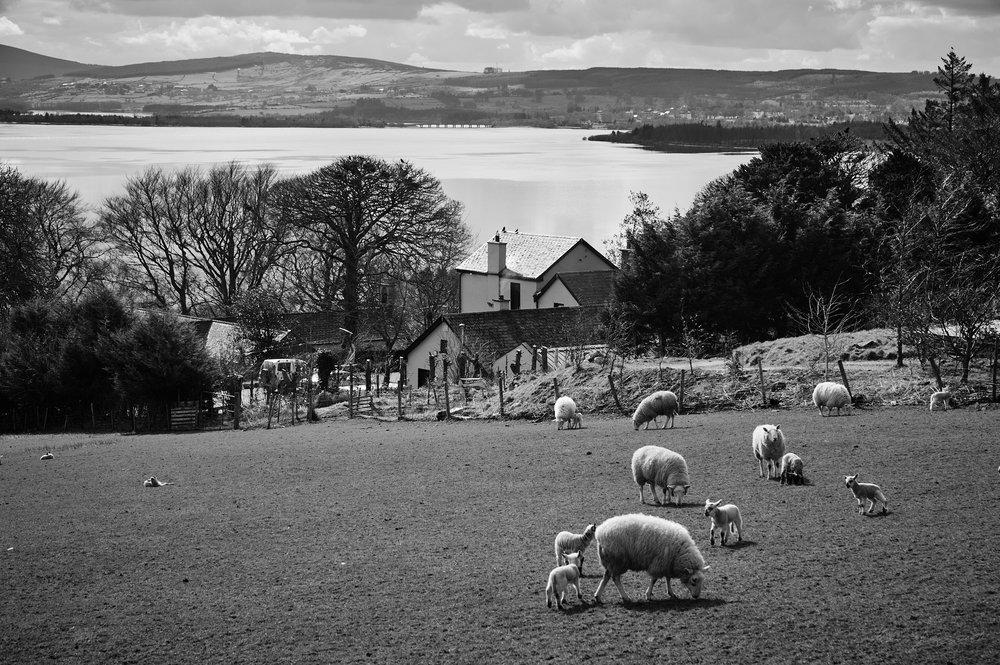 Sheep in a field near Blessington, Co.Wicklow