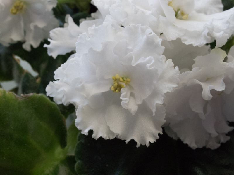 White African Violet