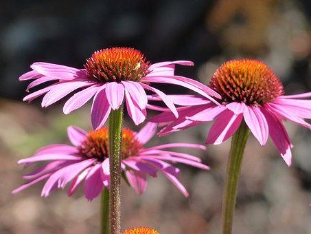Echinacea pic.jpg