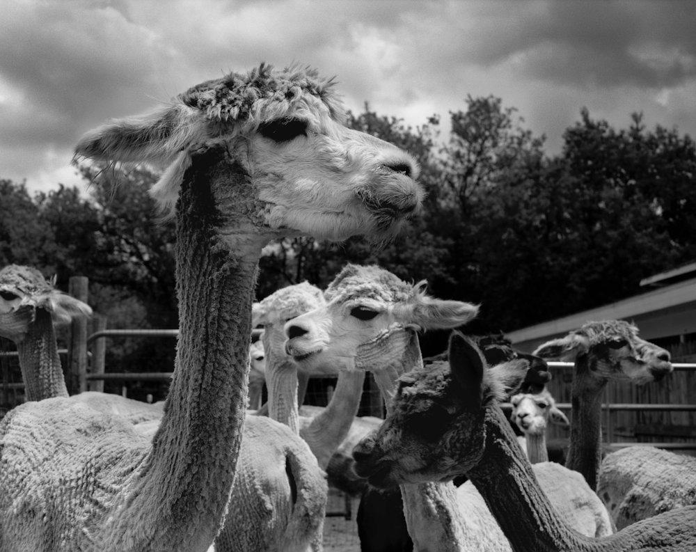 alpaca003_F.jpg
