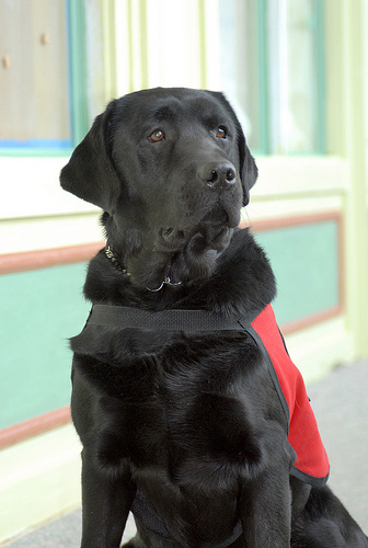 Henry, the Therapy Dog (via  flickr:HFWBH )   I wish our hospital had a Henry!