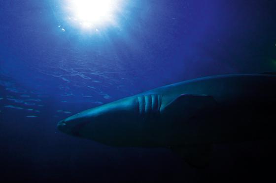 theanimalblog :      Shark