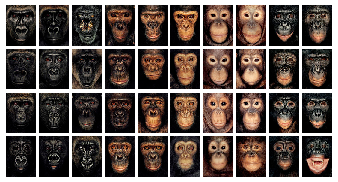 Forty different apes pose for photographer  James Mollison