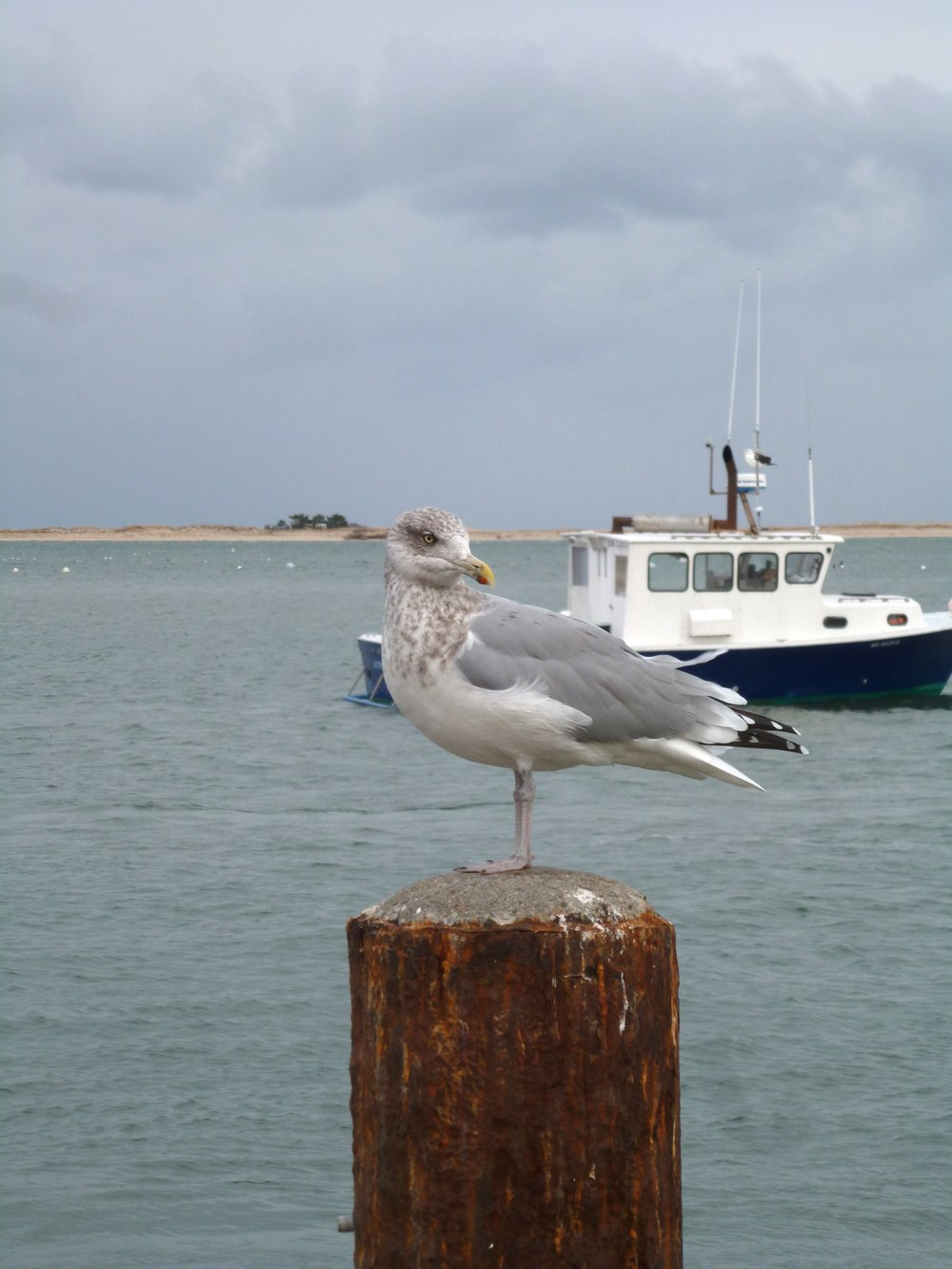 seagull at chatam fishing pier.jpg