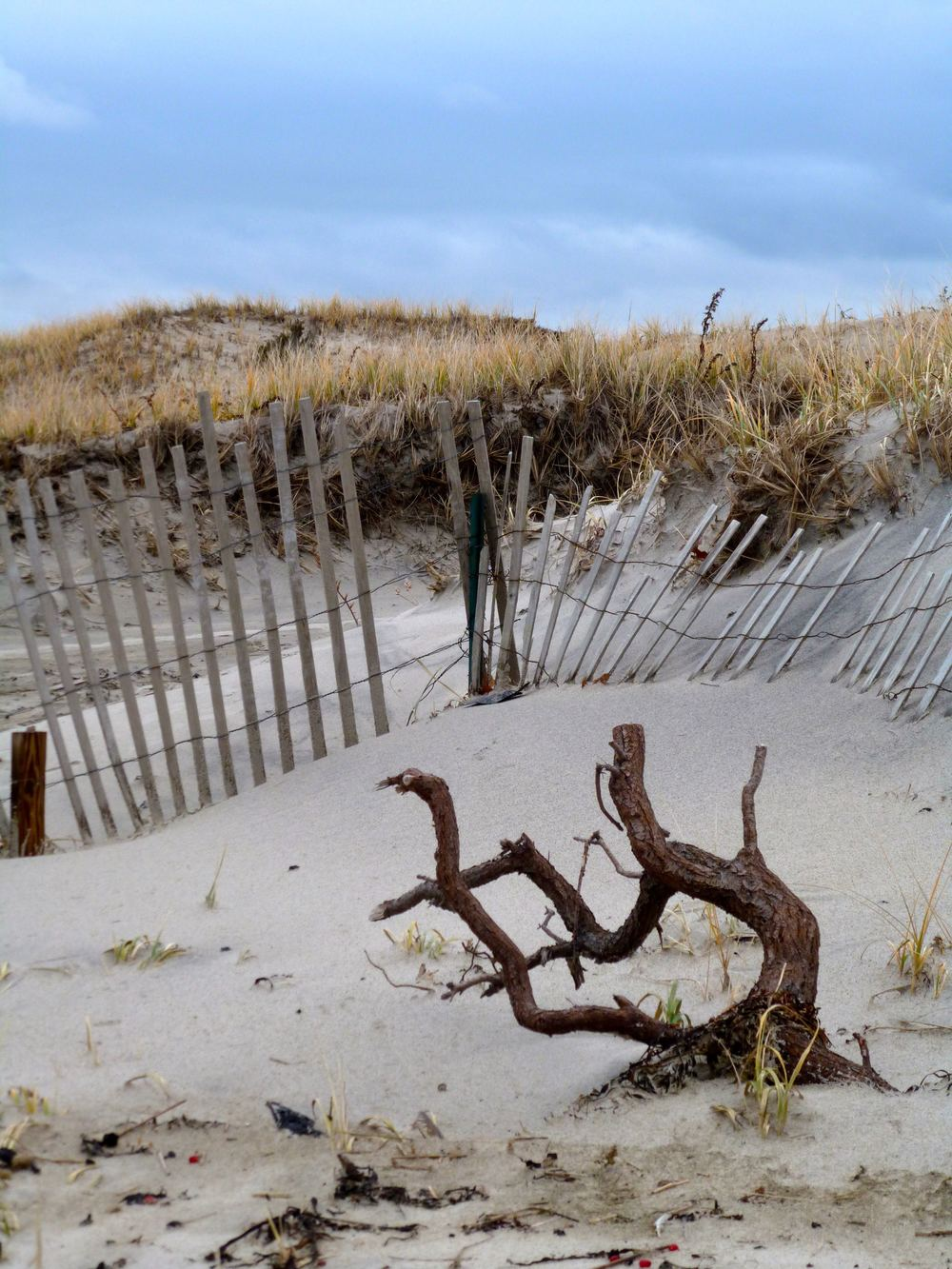 sandy neck drift wood.jpg