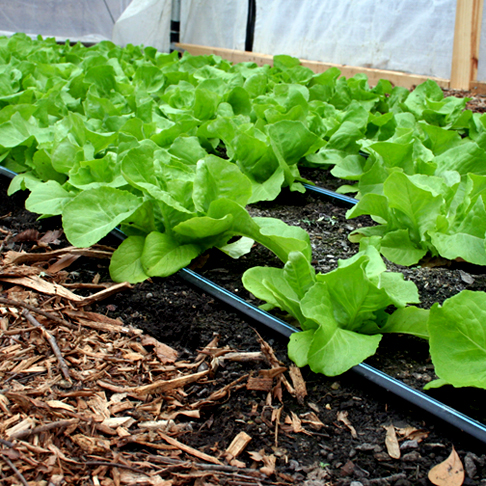 Head Lettuce Growing in One of the Hoop Houses