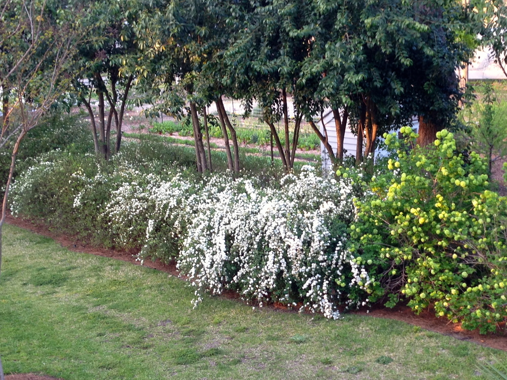Spirea precedes the viburnum with its trailing blooms.