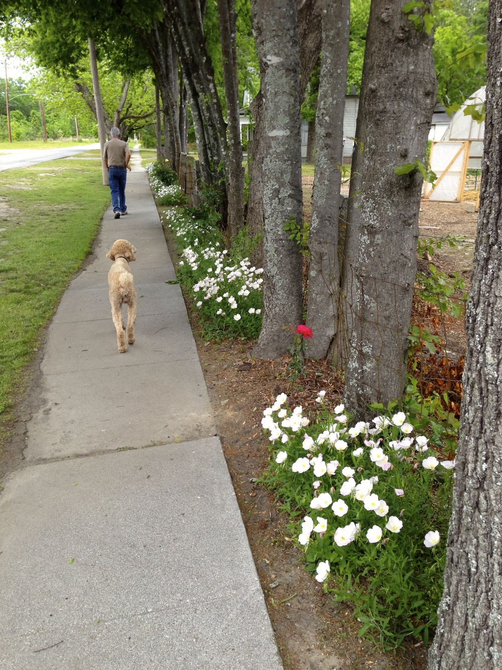 Robert and Rives walk along the outside fence line which is planted with evening primroses.
