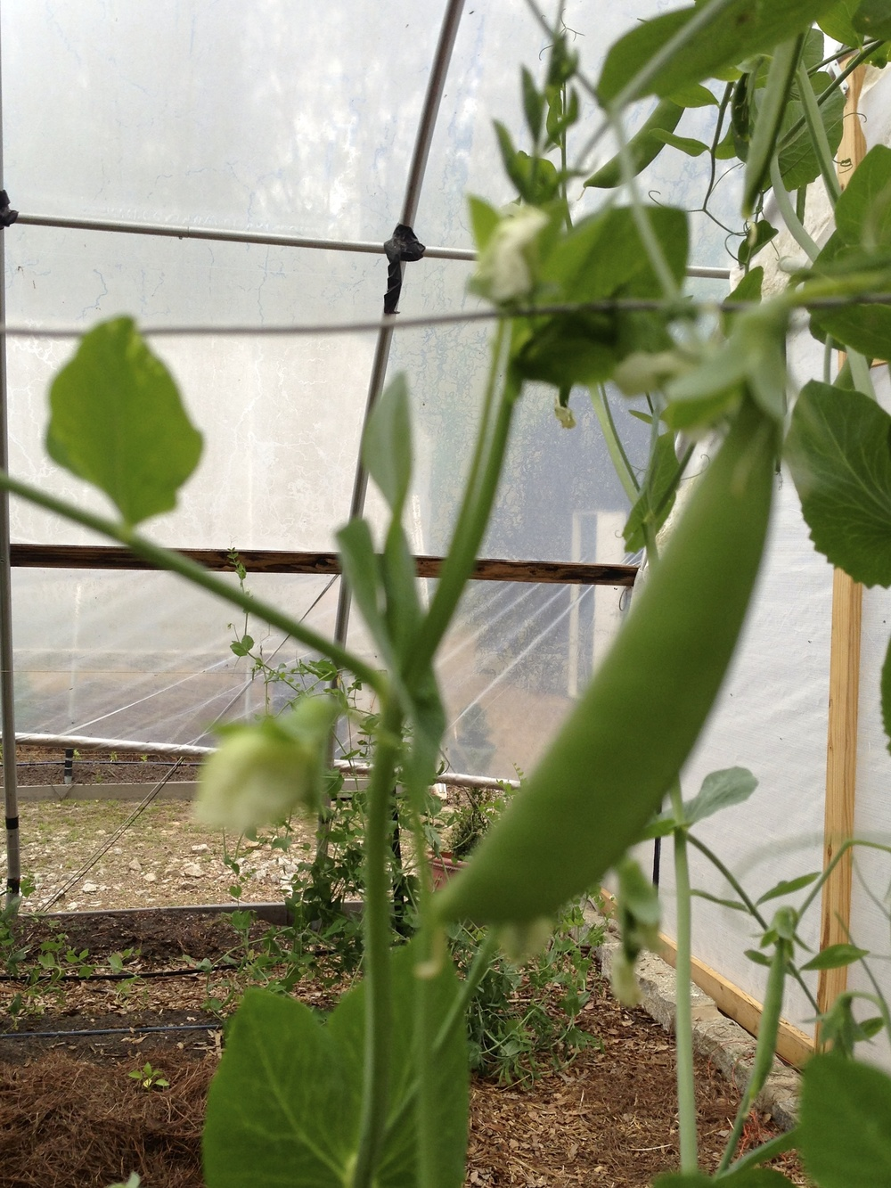 Sugar Snap Peas bloom and produce plentifully.  They were started early in the warmer environment of one of the hoophouses.