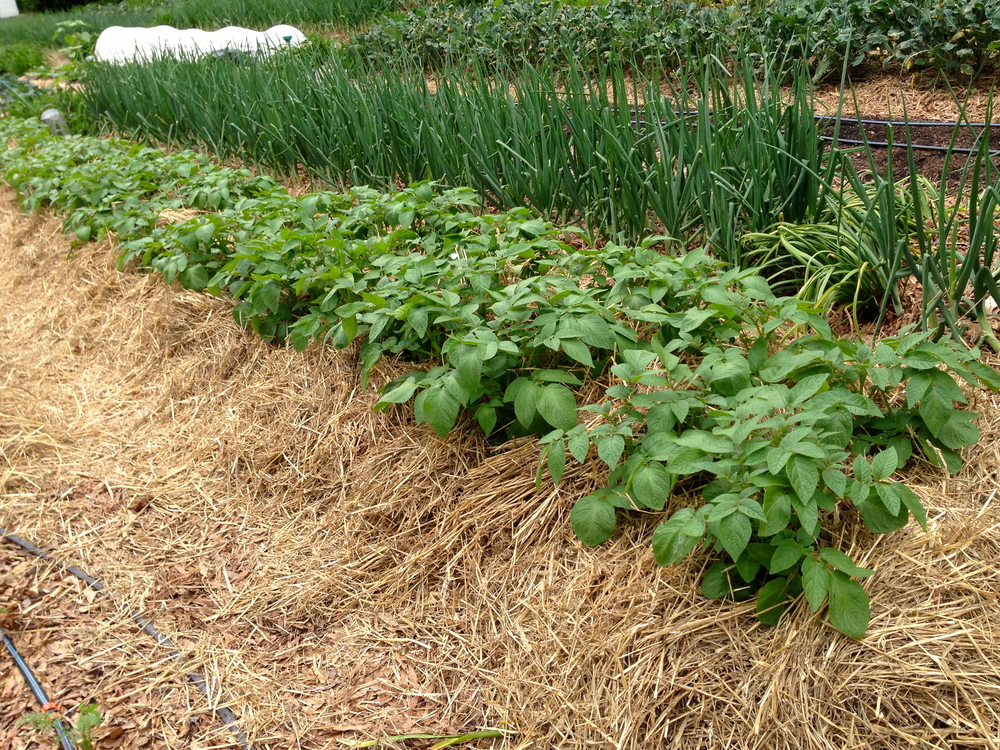 It is important to keep potatoes heavily mulched.  Here's a row that shows how we pile the mulch on.  We have a variety of potatoes in the ground this year, including Adirondack Red, Island Sunshine and All Blue.