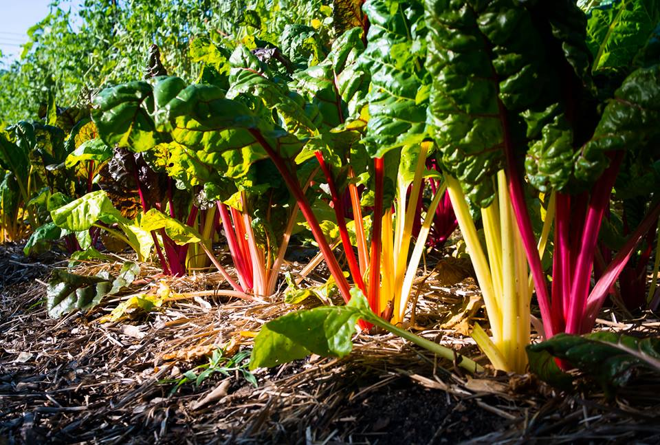 Rainbow Chard is as pretty as a flowe r  .