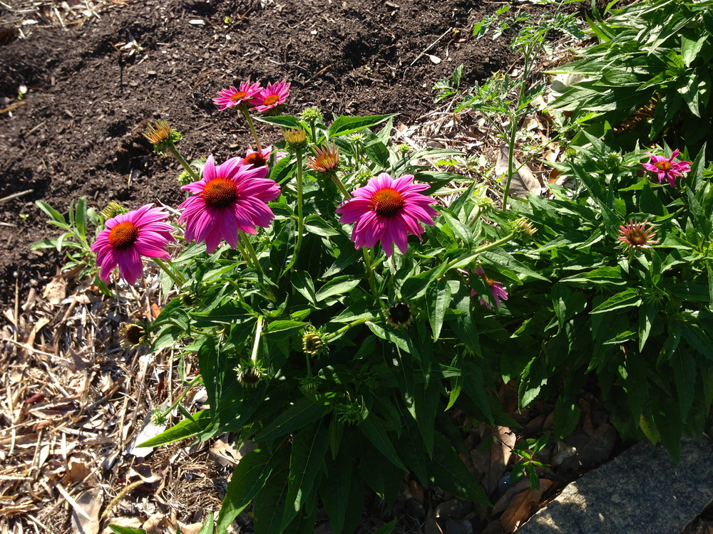 Purple coneflower borders our front herb bed and has just begun to bloom.