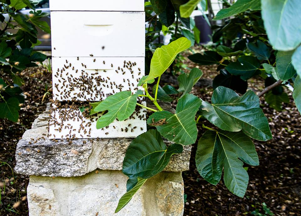 And last, but not least, are the honey bees.  Brownlee captured this picture of one of our hives right after it had acted as if it was swarming, but decided to return to the hive.  Bees are so important for their work in pollinating the blossoms in the garden as well as producing honey!