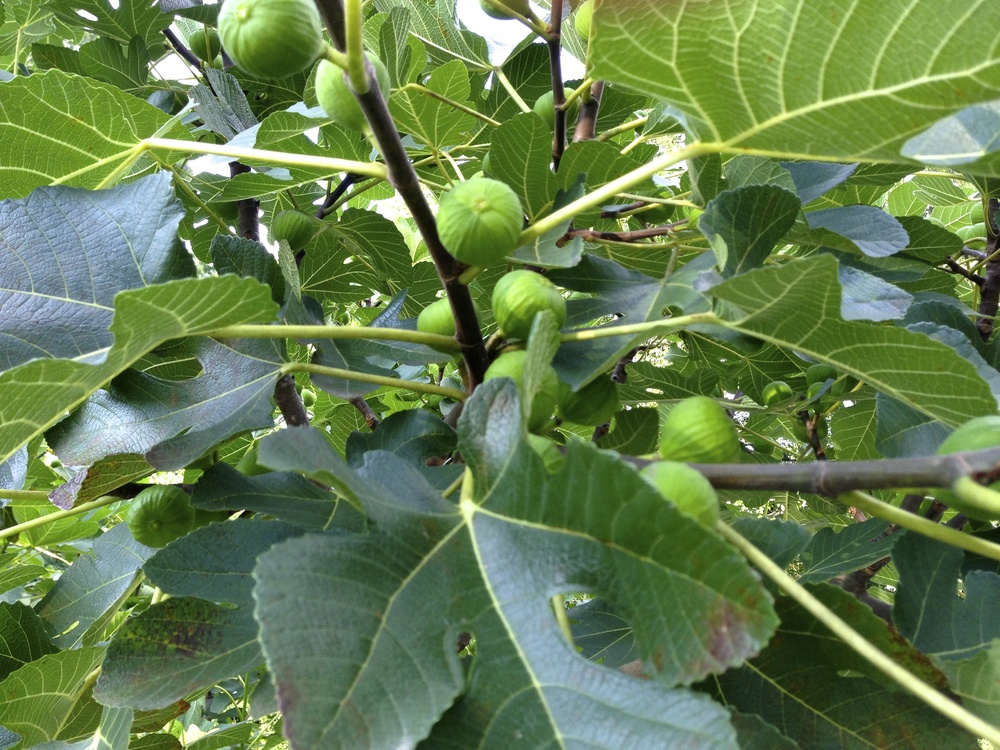 Here are those wonderful green skinned Kodata figs we're waiting on for an especially long time this year.  But they will be worth the wait.