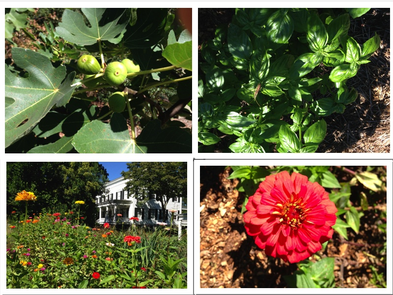 Here are some of summer's remains:  Figs, basil and plenty of glorious colorful zinnias.