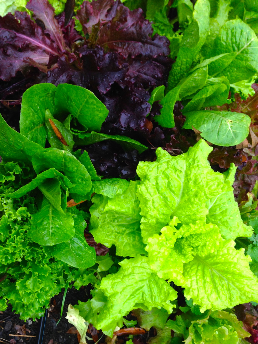 "Here is a sampling of some of the lettuces from one of our ""salad mix"" rows.  You get a nice sampling of different textures and colors within a row such as this."
