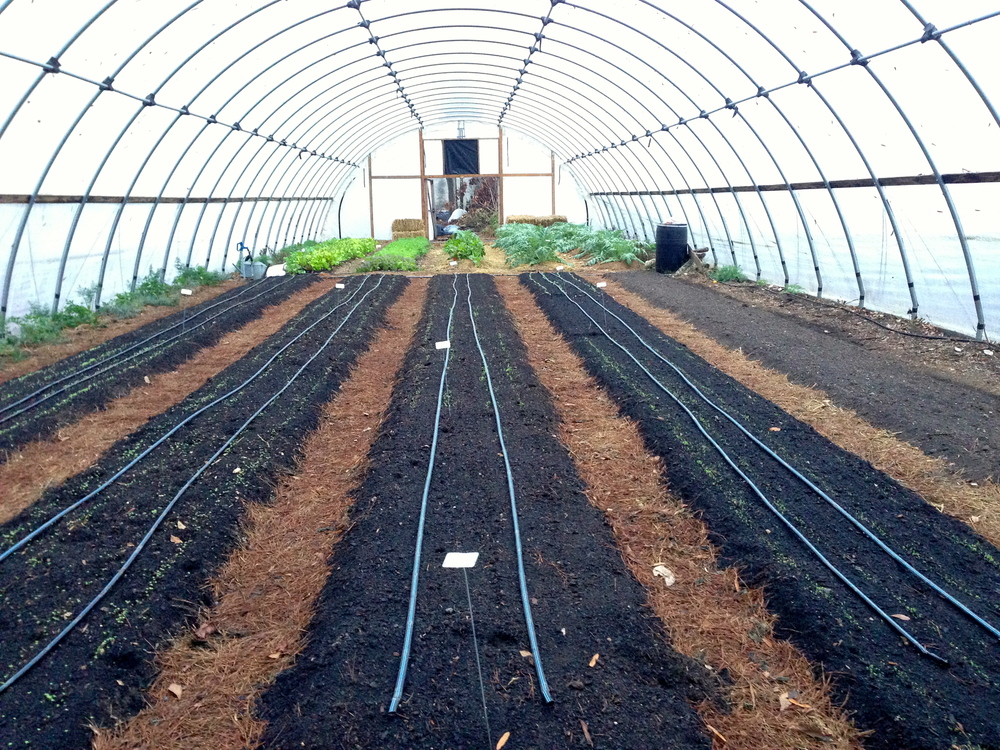 A hoop house full of lettuces and other greens show the more mature greens toward the rear and newly seeded rows in the front.