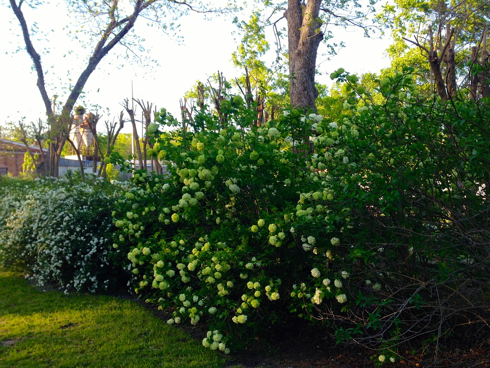 Blossoms of spirea and viburnum are another sure sign of spring.