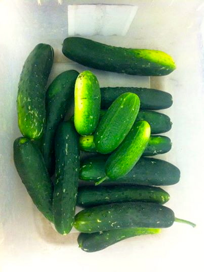 This fine batch of cucumbers was picked on May 7.
