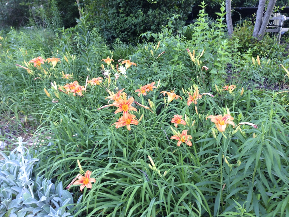 Here is a cluster of the common tiger day lilies, or ditch lilies, as some call them. These might be the ones to eat!