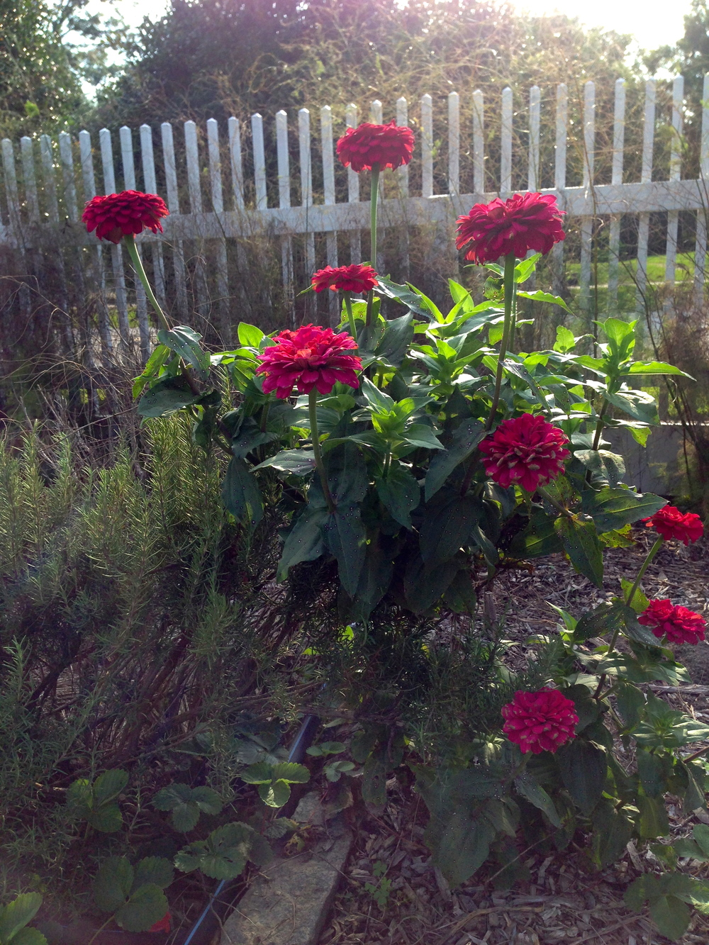 And August's zinnias still bloom brightly in the afternoon sun too.