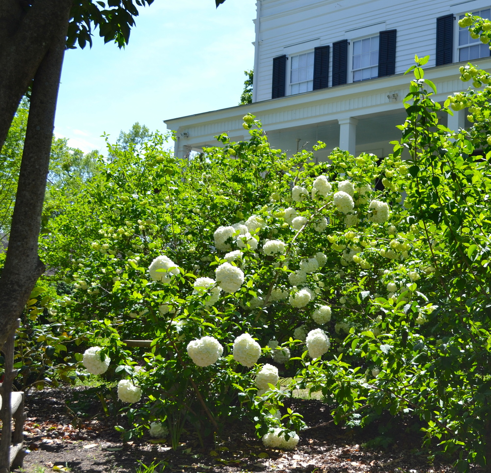 The aptly named snowball viburnum plants open their wonderful  blossoms.