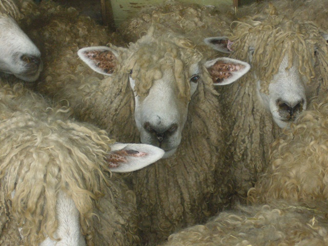 waiting for shearing.jpg
