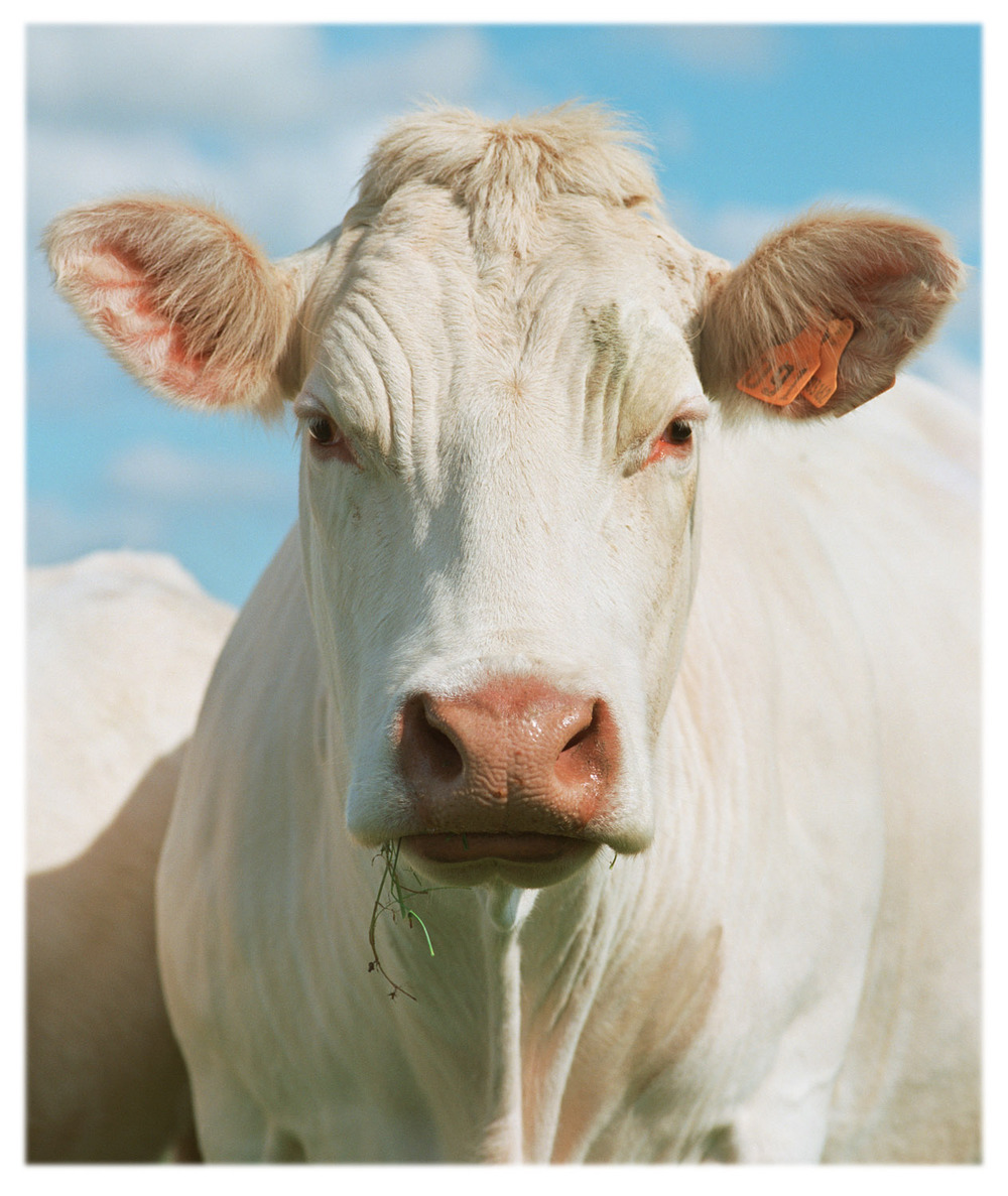 White Cow Crop FullHeadMatShrpBurn copyL.jpg