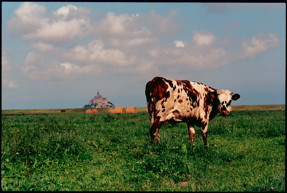Cow @ Mt. St. Michael.jpg