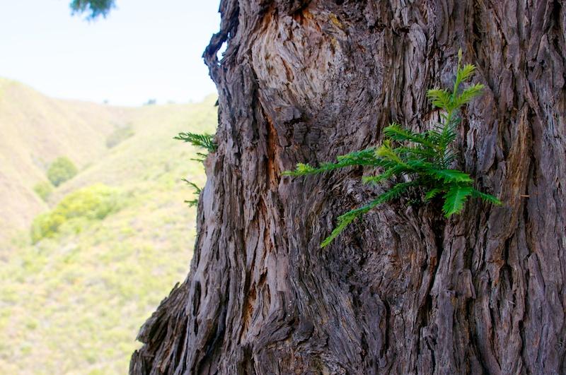big_sur_tree.jpg
