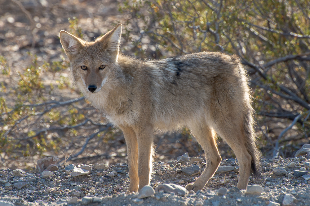 Death Valley Coyote.jpg