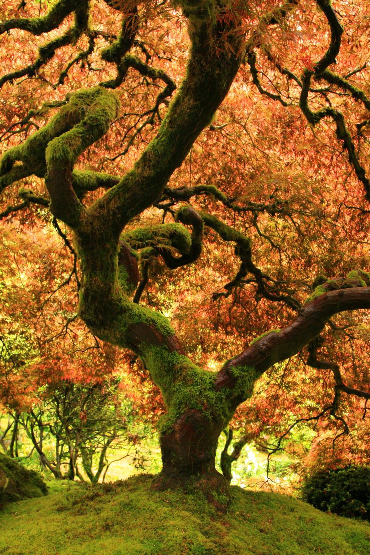 Portland Japanese Garden Japanese Maple