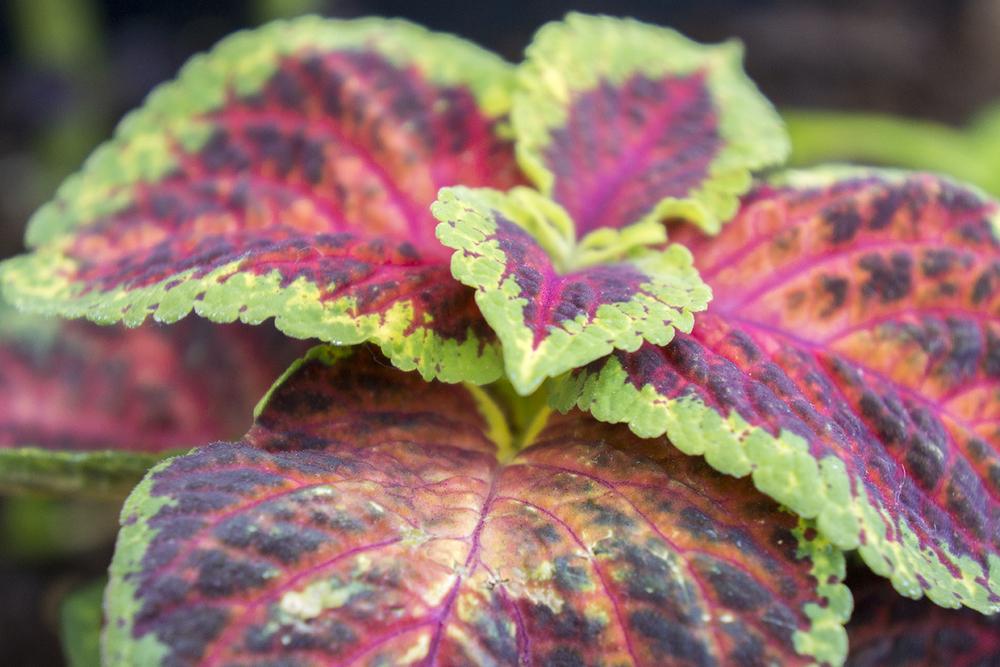 Patio Garden Plant- Coleus