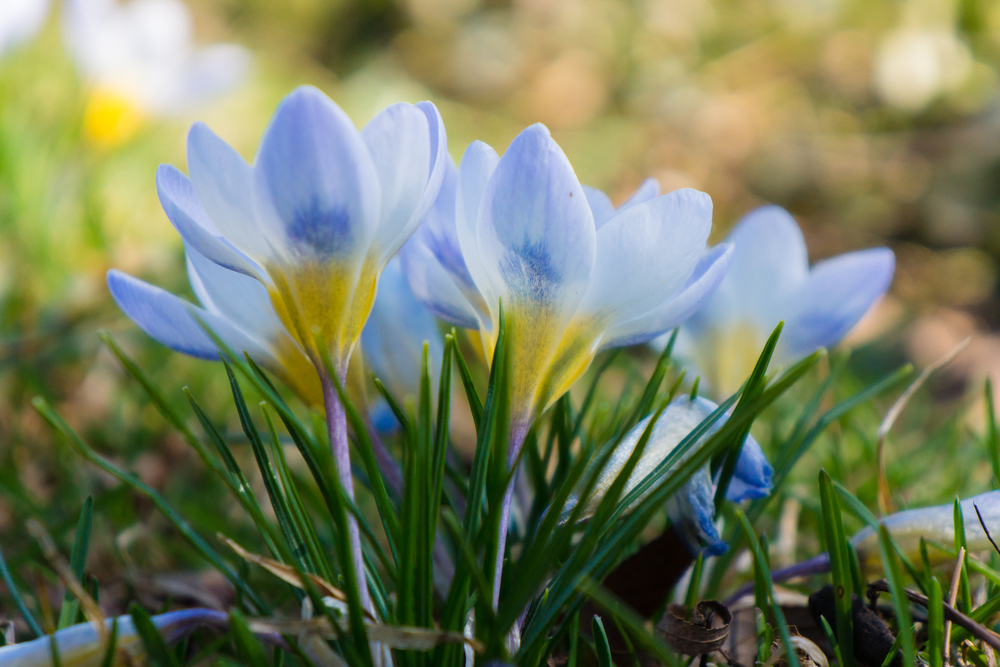 spring crocuses in bloom