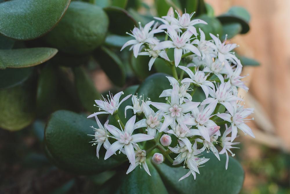 Crassula ovata (Jade Plant)